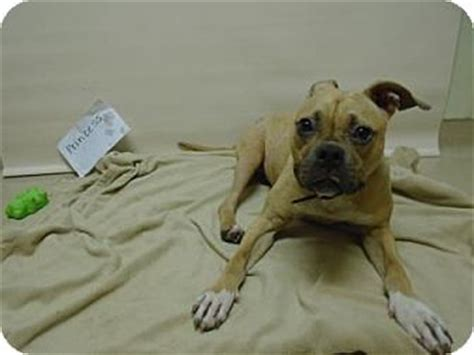 pit pug gary in pit bull terrier pug mix meet princess a for adoption