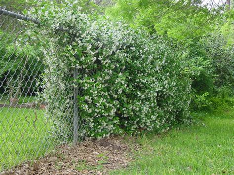 best vine for fence submited images vines for chain link