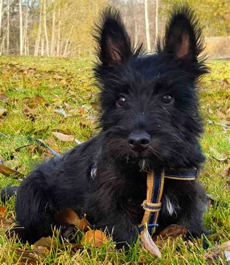 how to give a scottish terrier a hair cut scottish terrier dog breed information and images k9