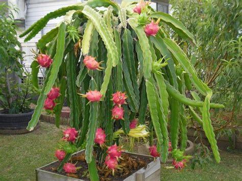 Pupuk Untuk Bunga Buah Naga cara mudah menanam buah naga delima