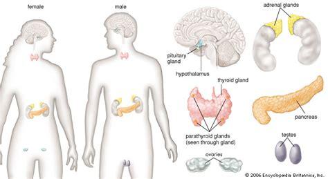 section 39 2 human endocrine glands human endocrine glands