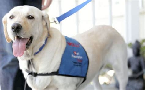 labrador therapy yellow lab beats cancer dogs therapy dogs for