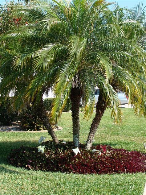 Jacksonville Botanical Garden by Plantfiles Pictures Pygmy Date Palm Robellini Palm