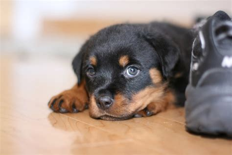 scary rottweiler 30 ferociously adorable rottweilers will melt your