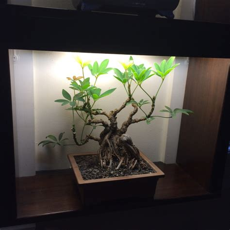 light up bonsai tree indoor bonsai under led lights page 12