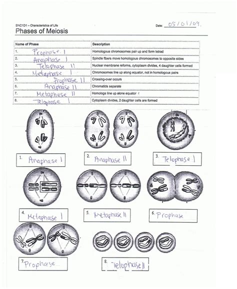 Meiosis Worksheet Answers by Meiosis Worksheet Key Free Worksheets Library