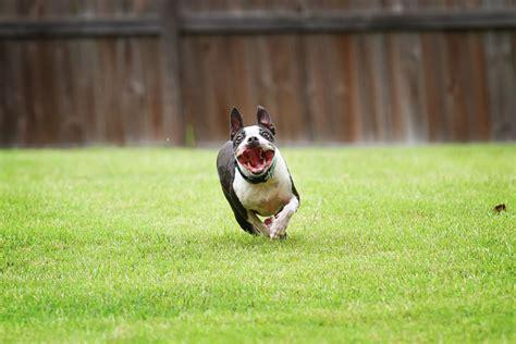 boston terrier puppies indiana boston terrier puppies in sulligent al 35586