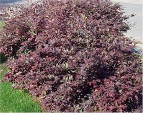 loropetalum purple dwarf shrub green to burgundy leaves