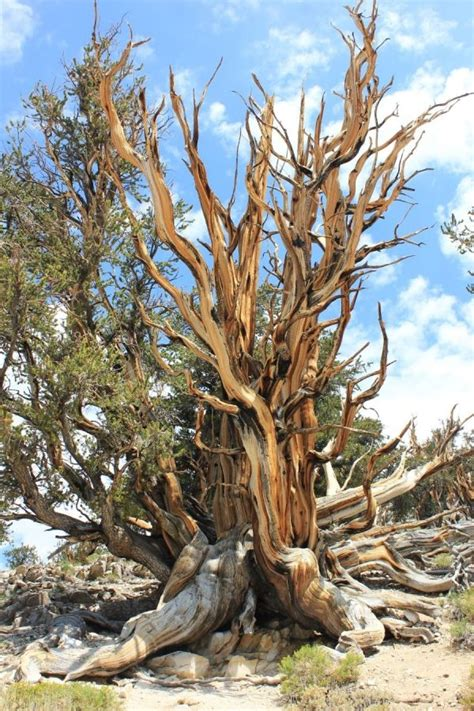 bristlecone pine tree california mystic 14 best images about bristlecone pines on