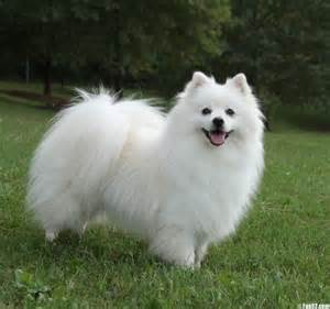 pomeranian eskimo puppies american eskimo 15 best small breeds for indoor pets