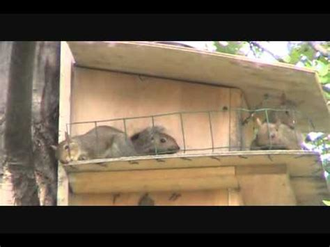baby squirrels playing   deck   squirrel house