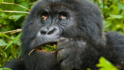 open wide see how a gorilla visits the dentist abc news best drc congo safari companies tour operators travel