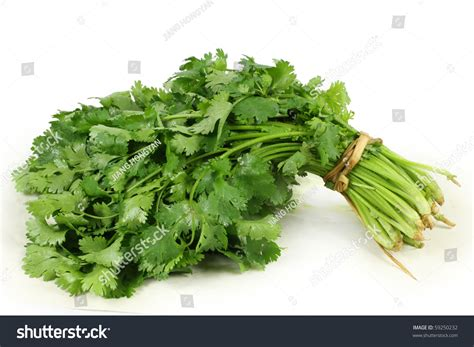 hanging bunches of fresh spicy herbs isolated on white bunch fresh cilantro isolated on white stock photo