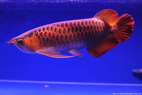 Pompa Aquarium Untuk Arwana cara merawat ikan arwana di akuarium yang benar
