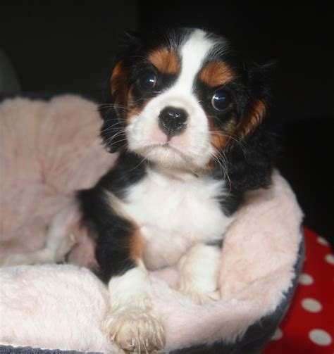 st charles cavalier puppy beautiful cavalier king charles spaniel boy st neots cambridgeshire pets4homes