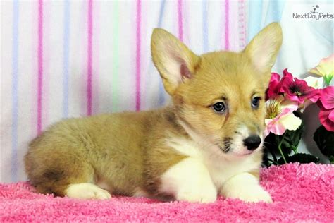 corgi puppies for sale denver corgi puppy for sale near denver colorado 4b2e57f7 e871