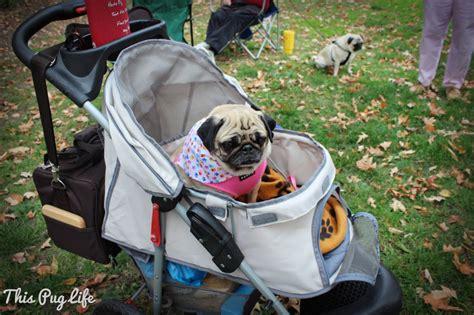st louis pug rescue pug this pug