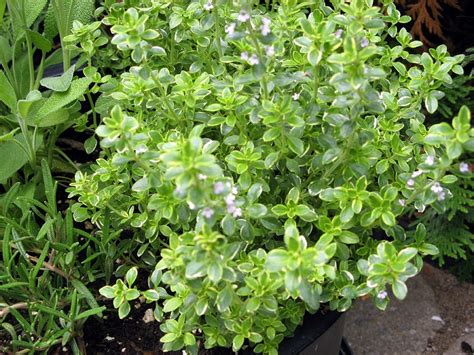 Thyme Herbs buy thyme tea benefits how to make side effects herbal teas