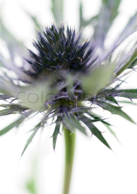 up of thistle flower on white background stock
