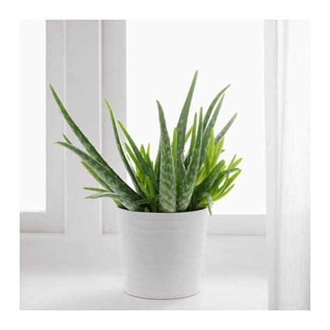 aloe vera in vaso plantas para sala 16 melhores esp 233 cies para decorar o