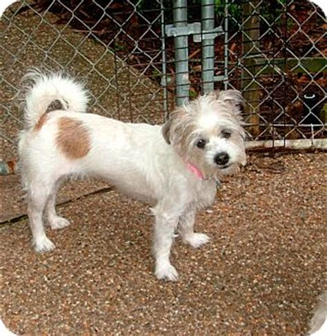 bull terrier and shih tzu mix ms adopted westport ct shih tzu terrier unknown type small mix