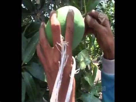 Harga Bibit Mangga Alpukat Pasuruan mangga alpukat pasuruan