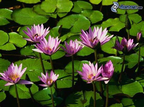 ninfee fiori ninfee