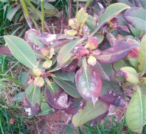 Rhododendron Krankheiten Schädlinge 3350 by Sch 228 Dlinge An Rhododendron Rhododendron Sch Dlinge