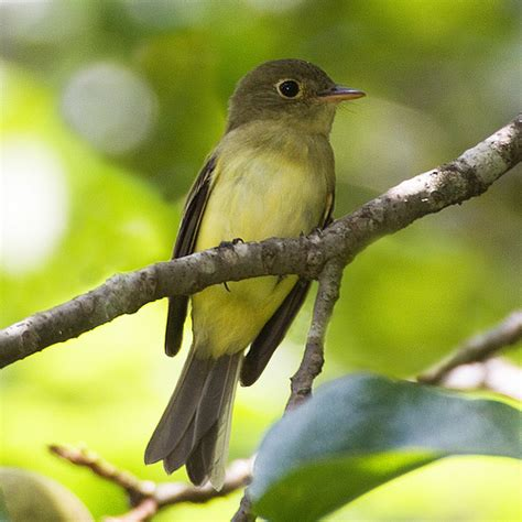 gallery yellow bellied flycatcher