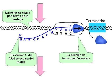 cadena de adn positiva y negativa unidad v idaliabeltranbioquimica2