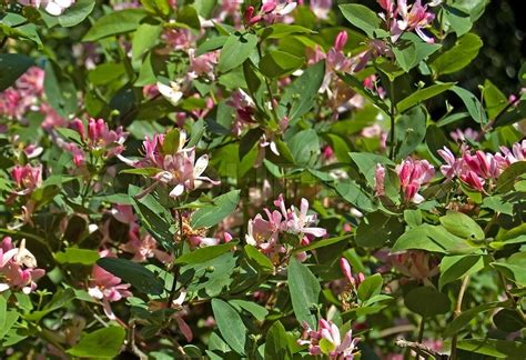 shrub with pink flowers 301 moved permanently