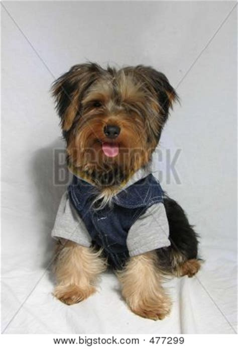 yorkie dressed up dressed up yorkie stock photo stock images bigstock