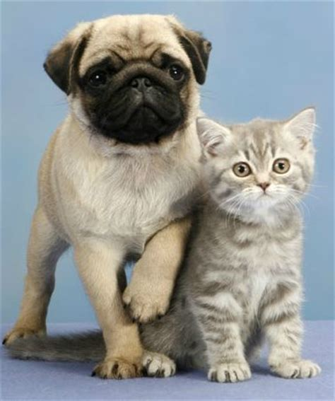 pugs and kittens pugs and kittens related keywords pugs and kittens keywords keywordsking
