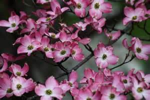 file spring pink bloom tree west virginia forestwander jpg wikimedia commons