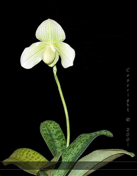 slipper orchids for sale slipperorchid orchids paphiopedilum
