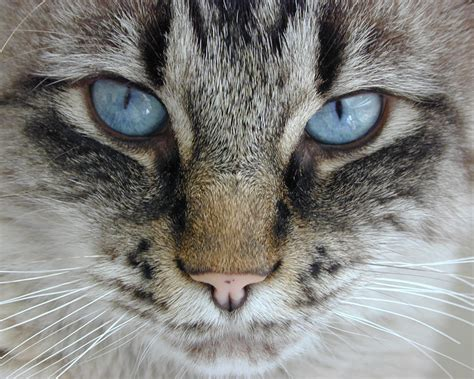 kitten eye color mesmerizing facts about cat eye colors cole marmalade