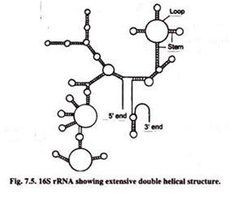 rna types: 3 main types of rna (with diagram)