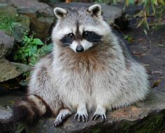 1000+ images about raccoons on pinterest | racoon, baby