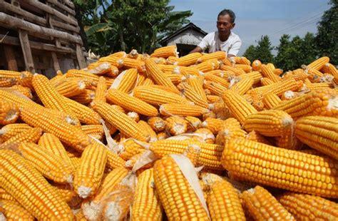 Pakan Ternak Tongkol Jagung 6 manfaat tongkol jagung yang bernilai guna ekonomis tinggi