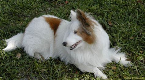 Sheepdog Shedding by How Bad Do Shelties Shed Advice From Real Sheltie Owners