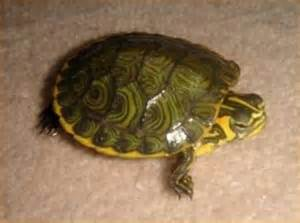Baby yellow belly turtle for sale reptiles for sale with free