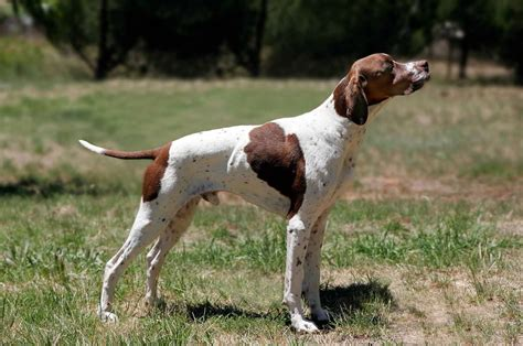 pointers dogs pointer all big breeds