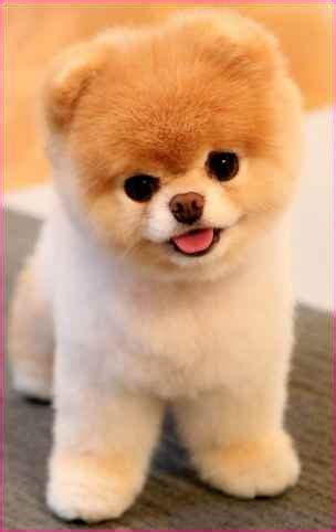 breeds that look like bears breed of small that looks like a teddy simple image gallery