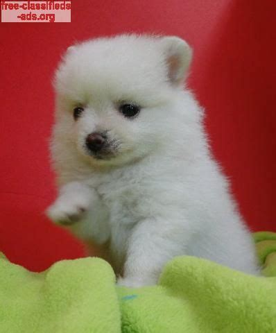 pomeranian org 25 best ideas about pomeranian puppies for sale on tiny puppies for sale