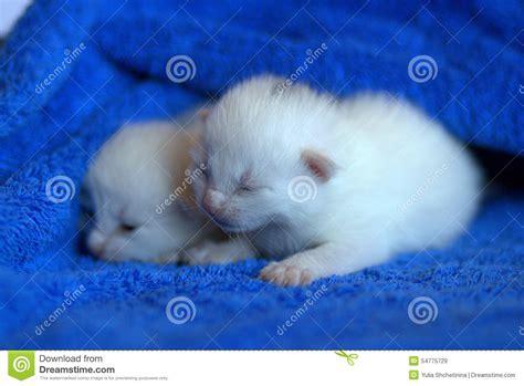 nomi persiani gattini bianchi neonati fotografia stock immagine 54775729