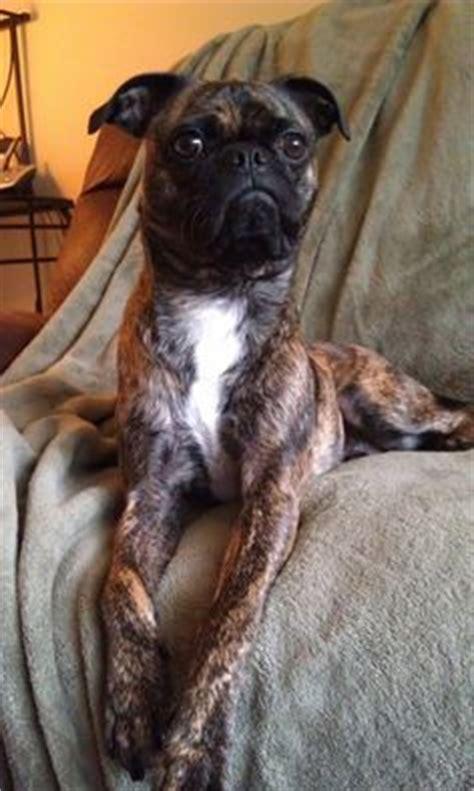pug rescue tulsa bruiser pets boston terrier pug pug mix and terrier