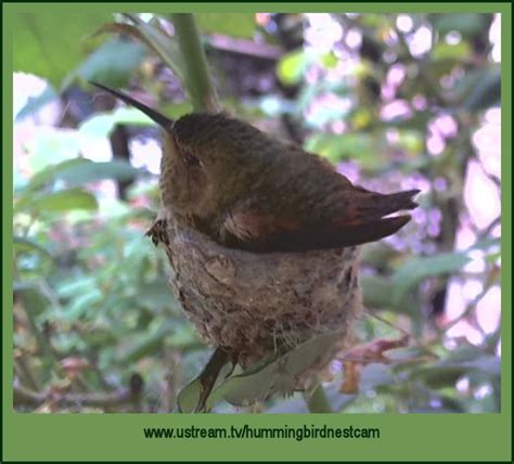 78 best images about hummingbird nests on pinterest
