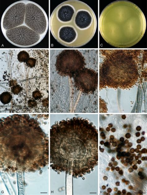 aspergillus section flavi aspergillus neoniger sp nov a c colonies incubated open i