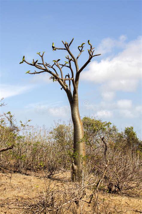 Albero Con Le Spine by Albero Tropicale Con Le Spine Sul Tronco Madagascar