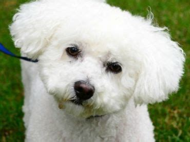 poodle lifespan in human years bichon frise breed history and some interesting facts